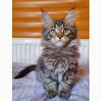 Продам ласкового котёнка Мейн-Кун, окрас черный тигр