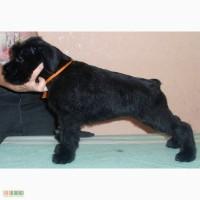 Элитный щенок ризеншнауцера