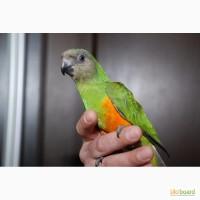 Сенегальский попугай малыши-птенцы в семью
