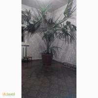 Веерная пальма трахикаргус форчуна