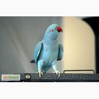 Продам красивого, говорящего попугая