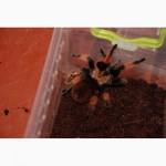 Паук птицеед Брахипельма Боэми Brachypelma boehmei 1-5 см