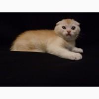 Продам необычайно редкого и красивого шотландского котенка скоттиш-фолд (Scottish Fold)