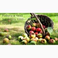 Збір яблук, груш, слив Чехія