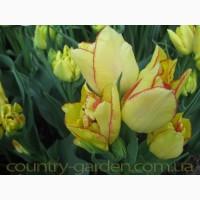 Продам луковицы Тюльпанов Махровых + Многоцветковых и много других растений