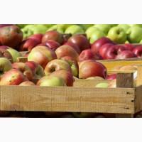 Куплю яблука у населення і заготівельників