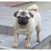 Pug male for sale
