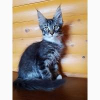 Продам котёнка породы Мейн-Кун черный тигр с белым