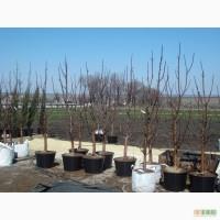 Плодовые растения - Черешня, вишня, персик, абрикос, слива, яблоня, груша,алыча...