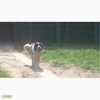 Щенки Кавказской Овчарки +Видео
