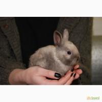 Домашний декоративный кролик продам, торчеухий кролик