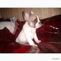 Продаётя породный щенок французского бульдога