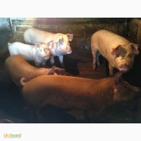 Продам свиней живым весом (Срочно) самавывоз