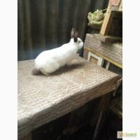 Продам кролика 3.5 мес