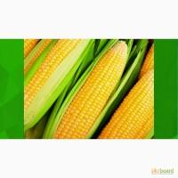 Семена кукурузы отечественные