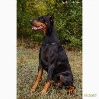 Продам щенка добермана с документами КСУ