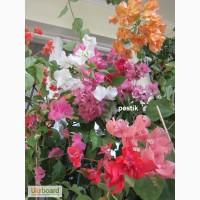 Красивоцветущие бугенвиллеи
