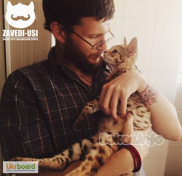 Фото 3/3. Коты саванна ф1 у вас дома