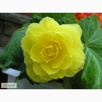 Продам семена Бегония Желтая крупноцветковая