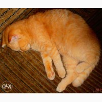 Кот скоттиш-фолд красный пятнистый