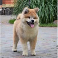 Уникальный щенок акита ину