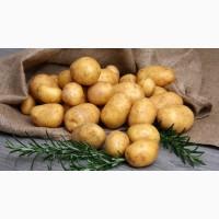 Куплю картофель с высоким показателем крахмала