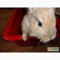Карликовый кролик львиная голова, веселый и активный ) + клетка