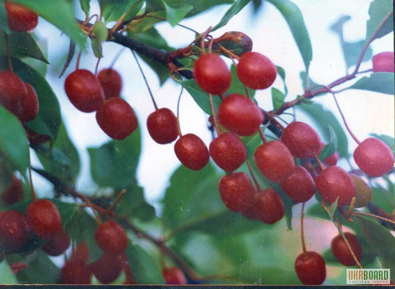 Саженцы плодовых деревьев саженцы
