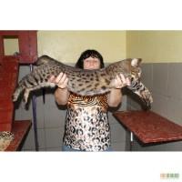 Продаются два котенка Саванна ф4 мальчики