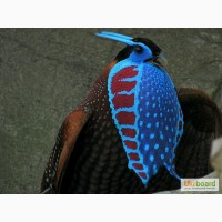 Продам фазана Трагопан Темминка (Tragopan temminckii)