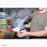 Жако птенцы 3 месяца ручные