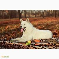 Продам щенков Сибирской хаски от Белоснежной сибирской хаски