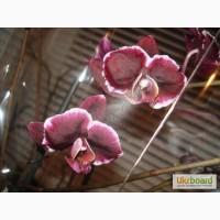 Продажа орхидей черная орхидея Блек Джек
