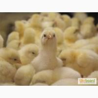 Бройлер суточные цыплята с вакцинацией