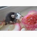 Декоративные крысы / Крысята ручные, обработаны, от 5 недель готовы к переезду