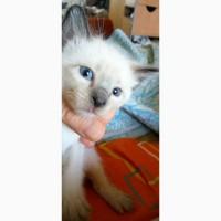 Продаются сиамские котята