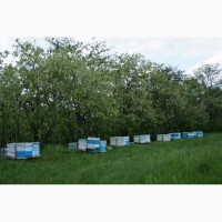 Бджолопакети Рут(230мм) Карніка. Доставка можлива