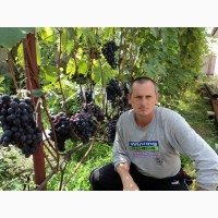 Саджанці столового винограду