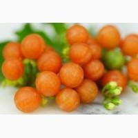 Отріколі, отриколи оранжевая