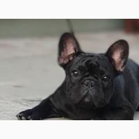 French Bulldog - Serbia
