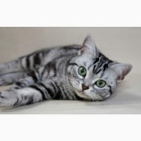 Американская короткошёрстная! Кошечка из рекламы Вискас