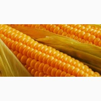 Гибрид Кодивал ФАО 290 семена кукурузы