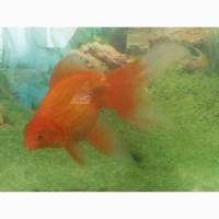 Золотые рыбки. Вуалехвост 18 см