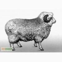Продам цигайских овец