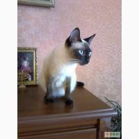 Сиамские котята,тайские котята,сиамская кошка,тайская кошка,одеса