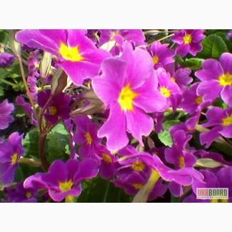 Продаю багаторіні квіти