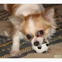 Взрослая собака чихуахуа, 3 года