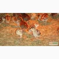 Купить яйца фазана, молодняк фазана по выгодной цене