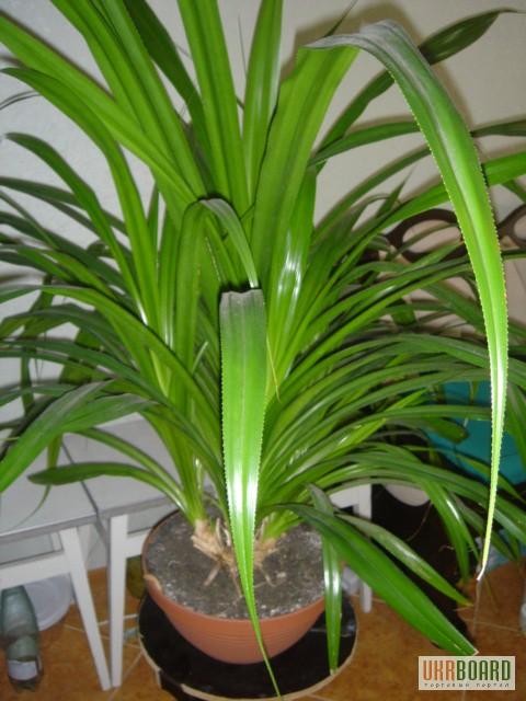 пальмы домашние