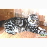 Предлагается шотландский прямоухий кот для вязки вислоухой кошки